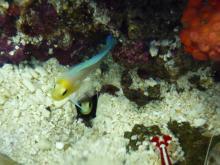 うおっち&ももの海水魚日記-タマゴは巣穴に・・・2