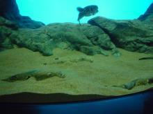 うおっち&ももの海水魚日記-砂とフグ