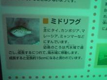 うおっち&ももの海水魚日記-フグ10
