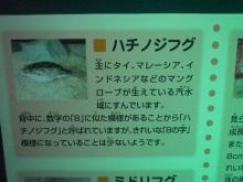 うおっち&ももの海水魚日記-フグ11
