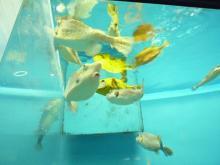 うおっち&ももの海水魚日記-フグ16