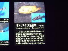 うおっち&ももの海水魚日記-フグ17