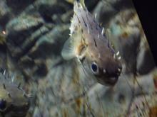 うおっち&ももの海水魚日記-フグ18