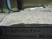 うおっち&ももの海水魚日記-フグ23