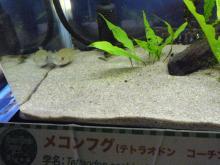 うおっち&ももの海水魚日記-フグ22