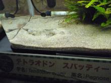 うおっち&ももの海水魚日記-フグ27