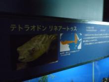 うおっち&ももの海水魚日記-フグ29