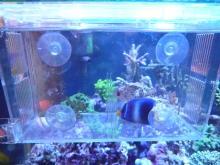 うおっち&ももの海水魚日記-アフリカヌス1