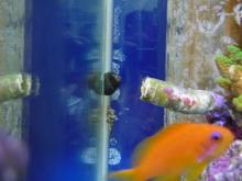 うおっち&ももの海水魚日記-しまっち22:53:52