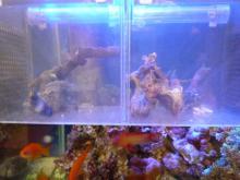 うおっち&ももの海水魚日記-隔離ケース2匹