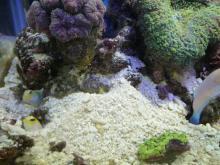 うおっち&ももの海水魚日記-ネジリン1