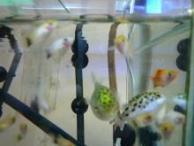 うおっち&ももの海水魚日記-朝の30cm-2