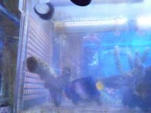 うおっち&ももの海水魚日記-アフリカヌス