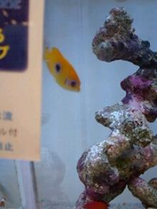 うおっち&ももの海水魚日記-レモンピー