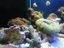 うおっち&ももの海水魚日記-60cm2