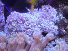 うおっち&ももの海水魚日記-ウミアザミ