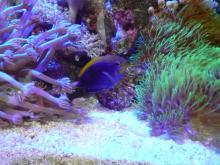 うおっち&ももの海水魚日記-セナキルリスズメ