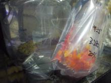 うおっち&ももの海水魚日記-サンゴ