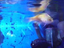 うおっち&ももの海水魚日記-ローンボイド