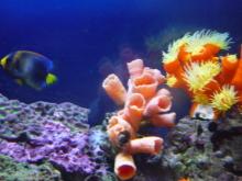 うおっち&ももの海水魚日記-アフリ2