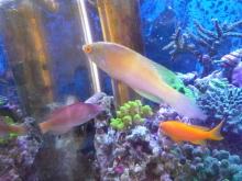 うおっち&ももの海水魚日記-ローンボイド1