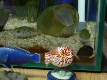 うおっち&ももの海水魚日記-タロウ&ジロウ&カノコ貝-2