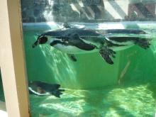 うおっち&ももの海水魚日記-ペンギン