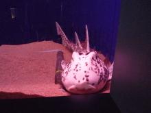 うおっち&ももの海水魚日記-白いネコザメ