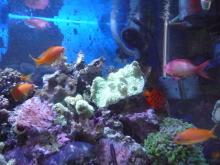 うおっち&ももの海水魚日記-リュウキュウイボサンゴ