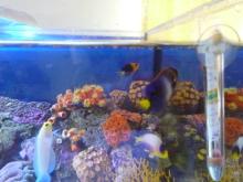 うおっち&ももの海水魚日記-60cmOF1