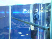 うおっち&ももの海水魚日記-ウッドストーン4