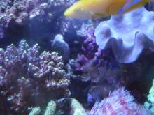 うおっち&ももの海水魚日記-しまっち1