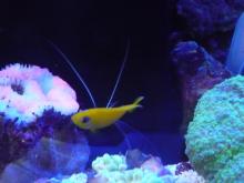 うおっち&ももの海水魚日記-レモンピー1