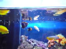 うおっち&ももの海水魚日記-アフリカヌス2
