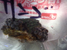 うおっち&ももの海水魚日記-マメスナ