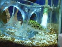 うおっち&ももの海水魚日記-ミドリフグ6