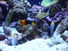 うおっち&ももの海水魚日記-60cm3