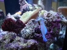 うおっち&ももの海水魚日記-60cm8