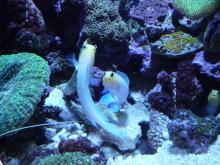 うおっち&ももの海水魚日記-60cm5
