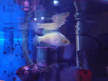 うおっち&ももの海水魚日記-ローンボイドオス