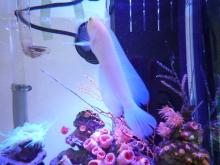 うおっち&ももの海水魚日記-30cm4
