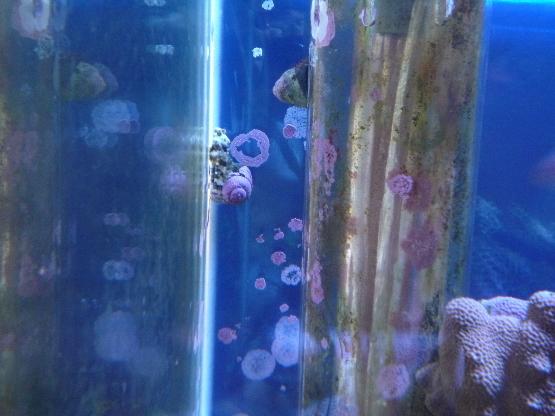 うおっち&ももの海水魚日記-テグリ