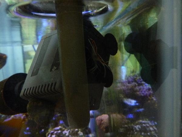 うおっち&ももの海水魚日記-チビスカンク2