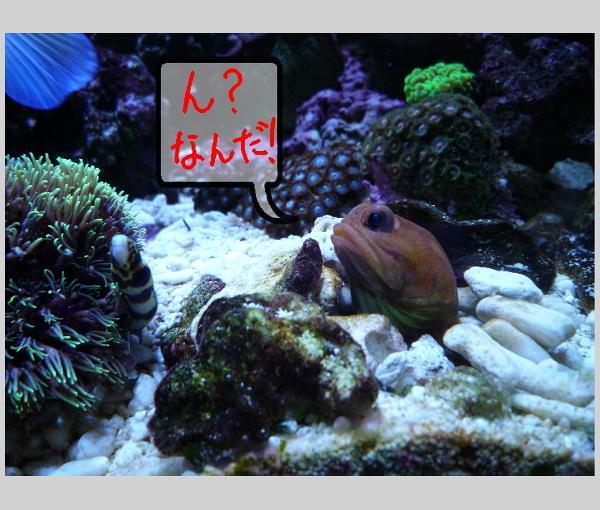 うおっち&ももの海水魚日記-レッド君とクモウツボ(1)