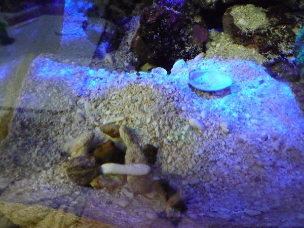 うおっち&ももの海水魚日記-貝殻2