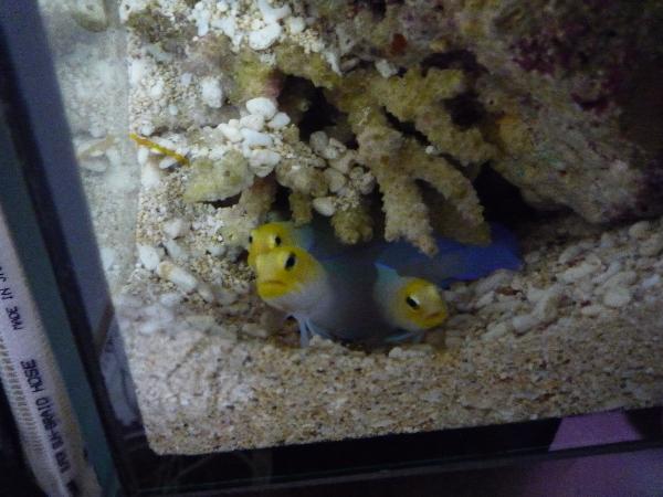 うおっち&ももの海水魚日記-3匹1