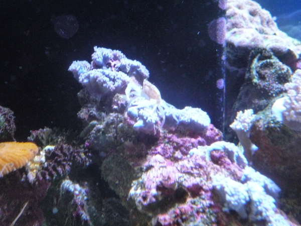 うおっち&ももの海水魚日記-カニ7