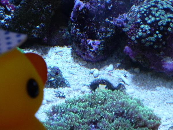 うおっち&ももの海水魚日記-アヒル1