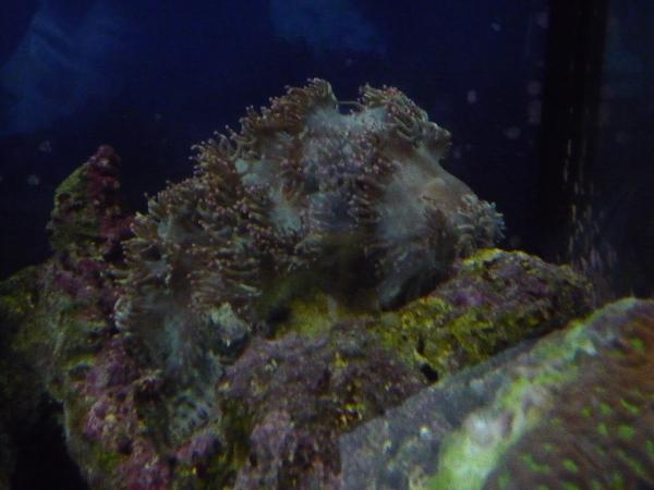 うおっち&ももの海水魚日記-トランペット