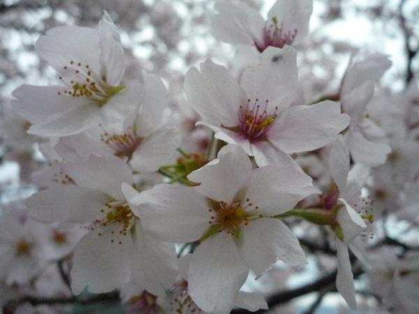 うおっち&ももの海水魚日記-桜